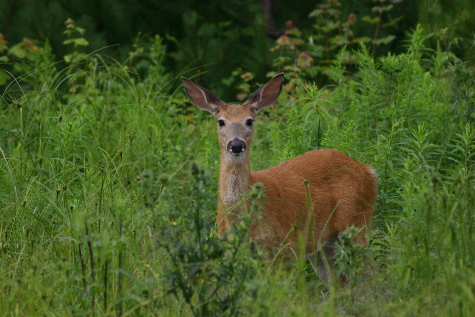 Forest Timber Management And White Tail Deer