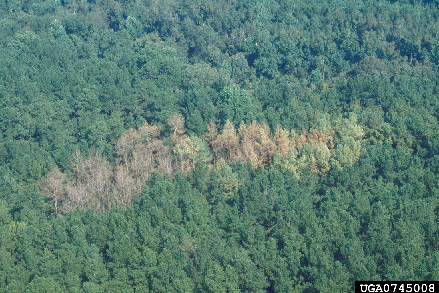 Southern Pine Beetle Usda if The Southern Pine Beetle is